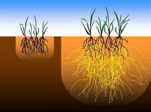 Plante med og uden mykorrhiza