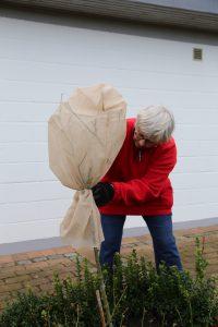 Vinterbeskyttelse til roser på stamme